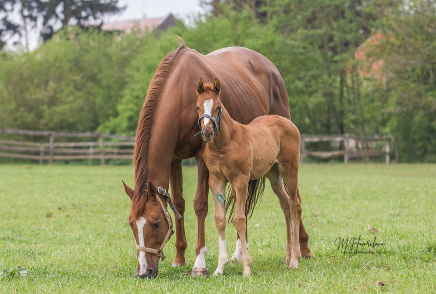 Sapsiree foal EagleTop